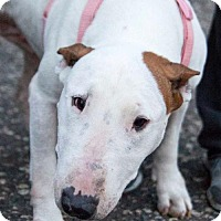 Bull Terrier Dog for adoption in St. Louis Park, Minnesota - Francis