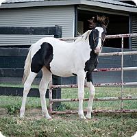Adopt A Pet :: Patrick's Bullseye - Nicholasville, KY