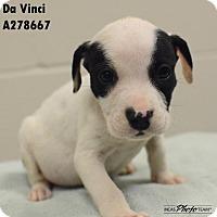 American Pit Bull Terrier Mix Puppy for adoption in Conroe, Texas - DA VINCI