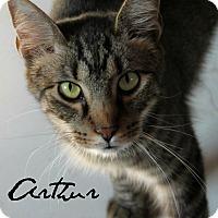 Egyptian Mau Cat for adoption in McKinney, Texas - Arthur