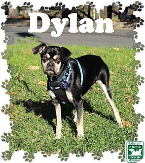 Pug/Beagle Mix Dog for adoption in Fallston, Maryland - Dylan