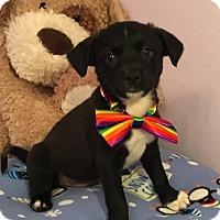 Adopt A Pet :: Samson - Fort Atkinson, WI