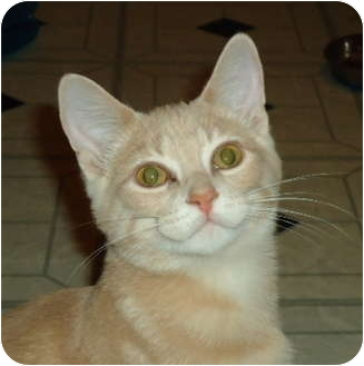 Domestic Shorthair Kitten for adoption in Elmira, Ontario - Jonah
