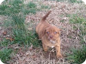 Pug/Terrier (Unknown Type, Small) Mix Puppy for adoption in Russellville, Kentucky - Maggie