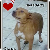 Adopt A Pet :: Sweet as Pie Sasha - Pflugerville, TX