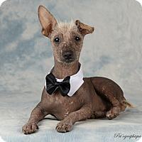 Adopt A Pet :: Teo - Henderson, NV