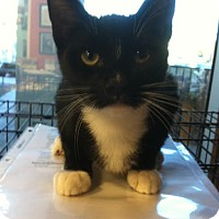 Domestic Shorthair Cat for adoption in Westminster, California - Clipper