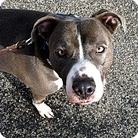 Adopt A Pet :: Blue - Lacon, IL