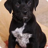 Adopt A Pet :: Ebony Lab Mix - St. Louis, MO