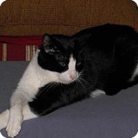Adopt A Pet :: Lucy-LAP CAT - Herndon, VA