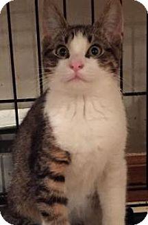 Domestic Shorthair Kitten for adoption in East Hanover, New Jersey - Liz
