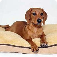 Adopt A Pet :: Penny - Sudbury, MA
