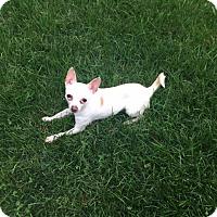 Adopt A Pet :: Rizzo - Chicago, IL