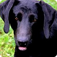 Adopt A Pet :: DANA(GORGEOUS LAB PUPPY! - Wakefield, RI