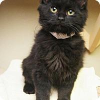 Adopt A Pet :: Raven - Tempe, AZ