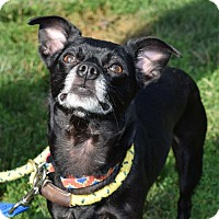 Chihuahua Mix Dog for adoption in Canastota, New York - Bear