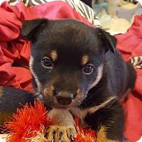 Adopt A Pet :: Brooke - Denver, CO