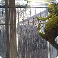 Iguana for adoption in Goleta, California - Iguana