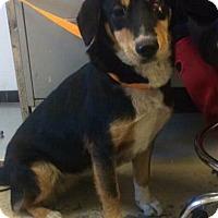 Adopt A Pet :: Luna - Breinigsville, PA