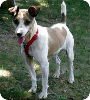 Jack Russell Terrier Mix Dog for adoption in Rhinebeck, New York - Sparks