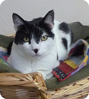Domestic Shorthair Cat for adoption in St. Petersburg, Florida - Madigan