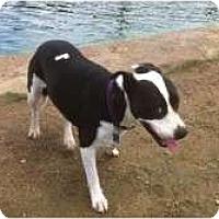 Adopt A Pet :: PHOEBE - Houston, TX