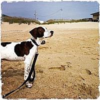 Adopt A Pet :: Hercules - Richmond, VA