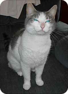 Domestic Shorthair Cat for adoption in San Antonio, Texas - Squeak