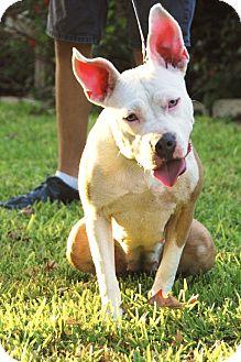 Bulldog/Australian Cattle Dog Mix Dog for adoption in Garland, Texas - Baby