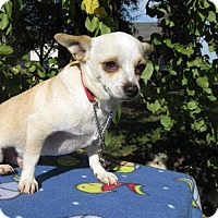 Chihuahua Dog for adoption in Elk Grove, California - Tigger