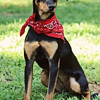 Doberman Pinscher/Feist Mix Dog for adoption in Greenville, South Carolina - Buttercup