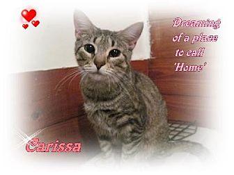 Domestic Mediumhair Cat for adoption in Orange City, Florida - Carissa