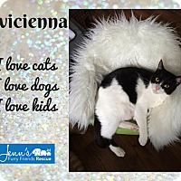 Domestic Shorthair Cat for adoption in Winnipeg, Manitoba - Avi