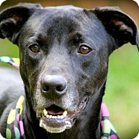 Labrador Retriever Mix Dog for adoption in Marietta, Georgia - Nila