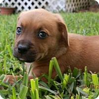 Adopt A Pet :: INDY TH - Tampa, FL