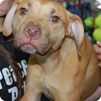 Adopt A Pet :: Addy - Brooklyn, NY