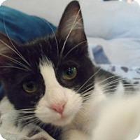 Adopt A Pet :: A376563   Owl - San Antonio, TX