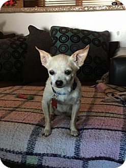 Chihuahua Mix Dog for adoption in Maple Grove, Minnesota - Little Bean