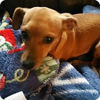 Adopt A Pet :: Bailey - Fort Worth, TX
