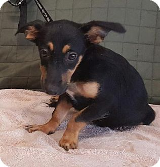 Australian Cattle Dog/Border Collie Mix Puppy for adoption in Livingston, Texas - Dolly Parton