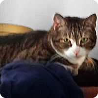 Domestic Shorthair Cat for adoption in Alexandria, Virginia - Teddy
