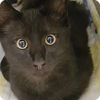 Domestic Shorthair Kitten for adoption in Cody, Wyoming - Finnegan