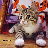 Domestic Shorthair Kitten for adoption in Speedway, Indiana - Jason