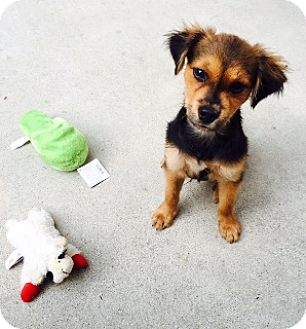 Shepherd (Unknown Type)/Spaniel (Unknown Type) Mix Puppy for adoption in Houston, Texas - Buddy Boy
