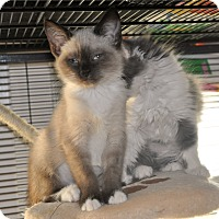 Adopt A Pet :: Rhapsody - Anderson, SC