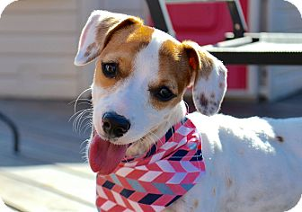 Jack Russell Terrier Mix Puppy for adoption in Aubrey, Texas - Pumpkin