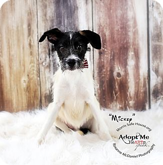 Border Collie/Schnauzer (Miniature) Mix Puppy for adoption in Lubbock, Texas - Mickey
