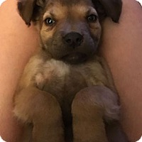 Adopt A Pet :: Ilana (DENVER) - Fort Collins, CO