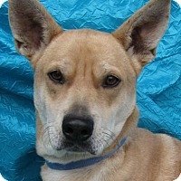 Shepherd (Unknown Type)/Terrier (Unknown Type, Medium) Mix Dog for adoption in Cuba, New York - Bingo Goodman