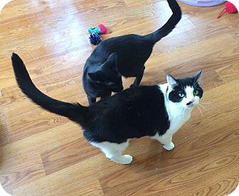 Domestic Shorthair Cat for adoption in Greensburg, Pennsylvania - Monroe